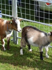 Goats on display at the Young Epilepsy stall